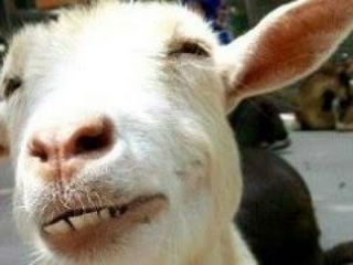 Funny Goats - A Funny Goat Videos Compilation