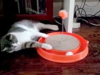 Lazy cat won't stand up to play