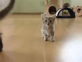Funny Small Cat Louder Shoutt