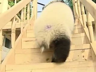 Pandas Playing on a Slide
