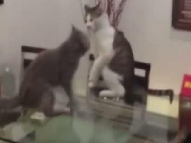 Cat Smackdown Like WWE (Funnyyyy)