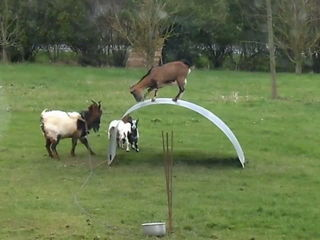 Cute Goat Jumping