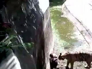 Tigers Kills Youth at Delhi Zoo