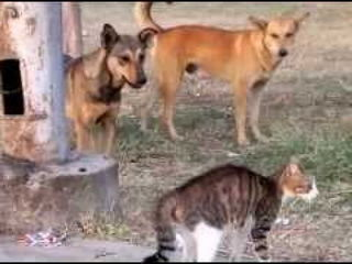 Cat Defends its Friend From Dogs