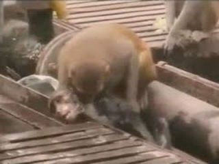 Unbelievable Monkey Saves His Friend
