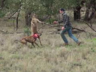 Man Punches Kangaroo To Save Dog