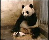 Funny baby panda