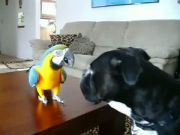 Black boxer dog playing with macaw blue and gold bird