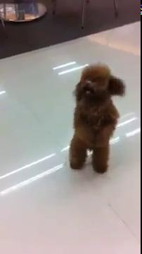 Cute!! Poodle walk like a human.