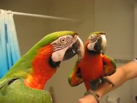Talking Macaw Shushes The Other Parrot - Funny Animals