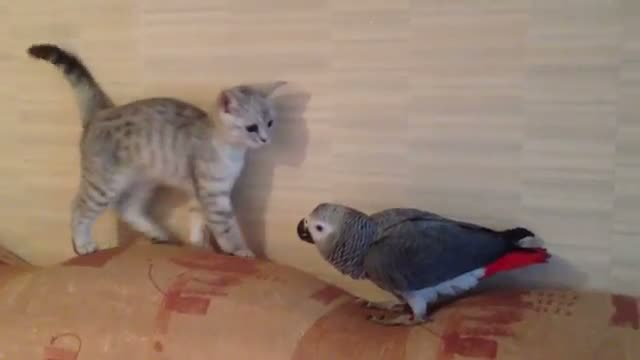 Kitty and Parrot Battle for the Couch
