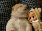 Cute Japanese Akita Puppy