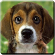 Puppy Beagle Live Wallpaper
